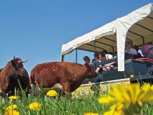 Cow safari, Vechtdal Hoeve