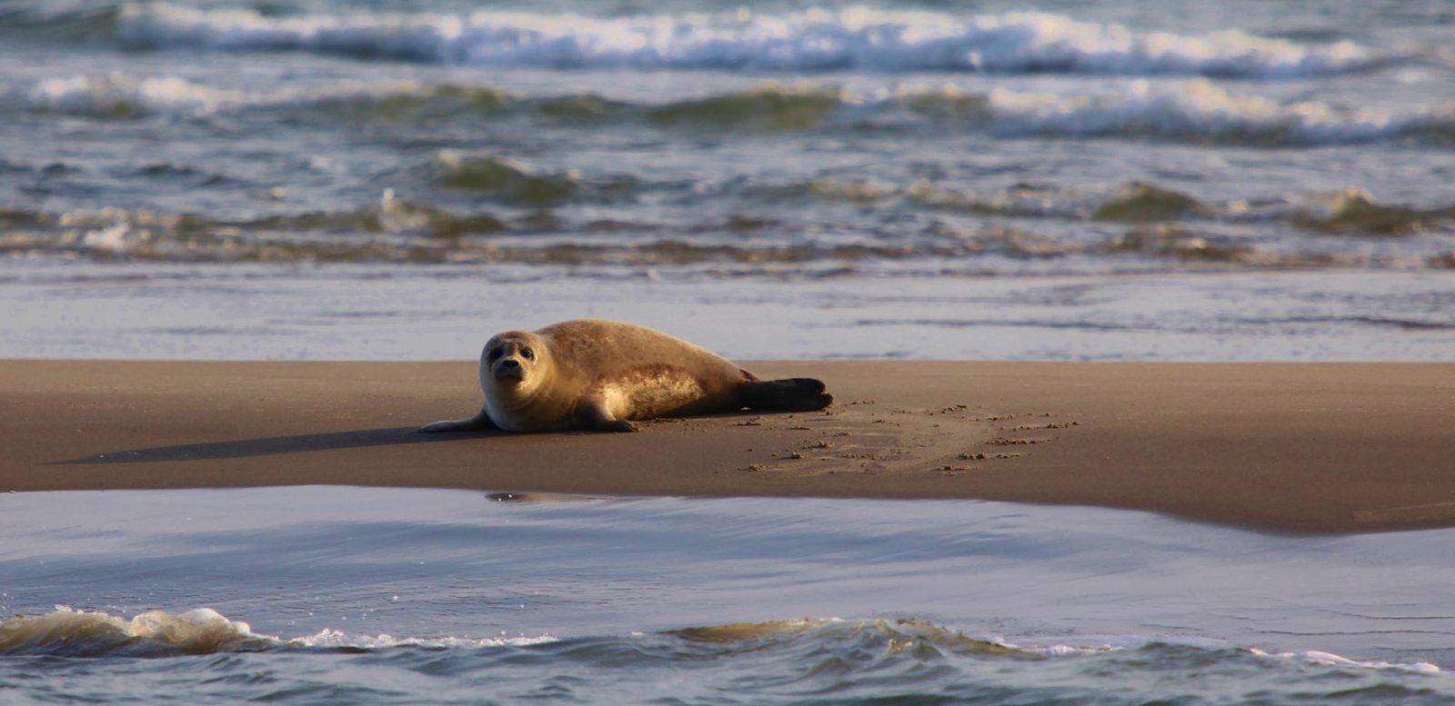 Seehunde in der Oosterschelde