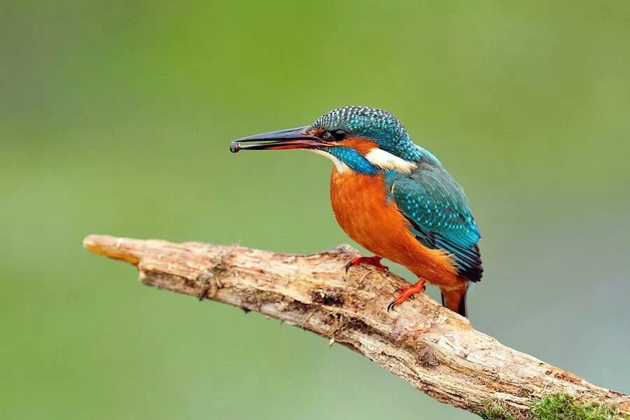 Kingfisher - small colour spectacle