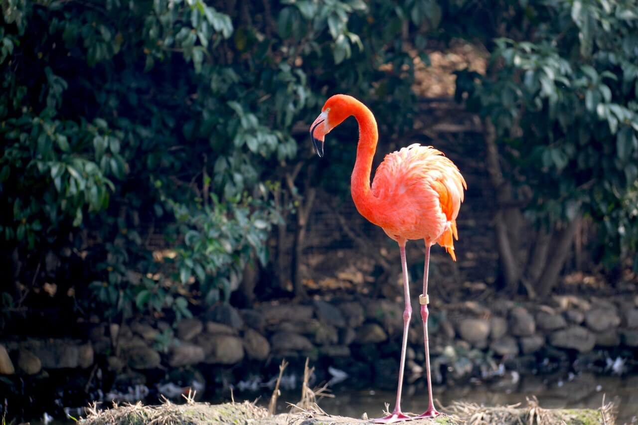 Curious about the animals on Bonaire? The flamingo is one of these animals. This beautiful and swining animal is nice to see.