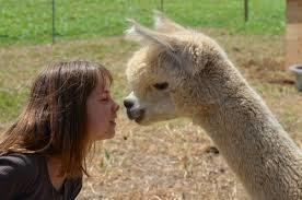 Uit met Alpaca's
