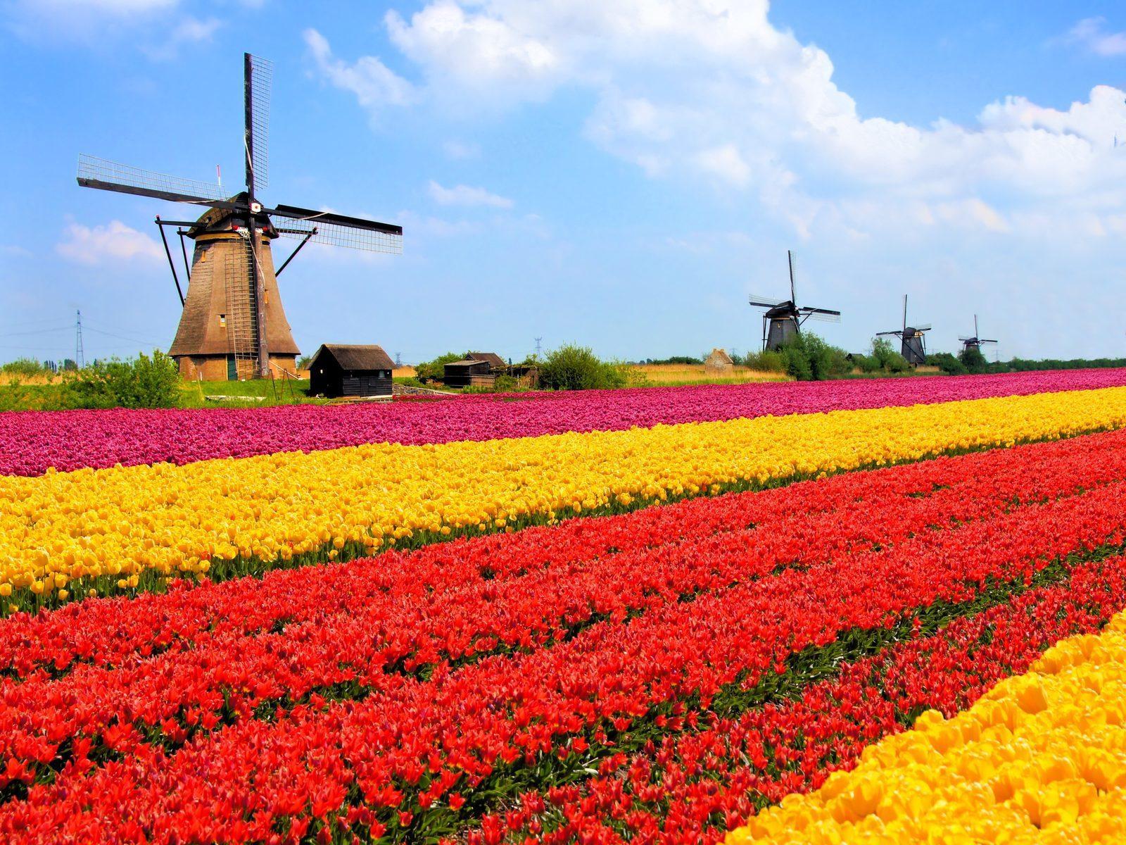 Tulipes à Noordwijk