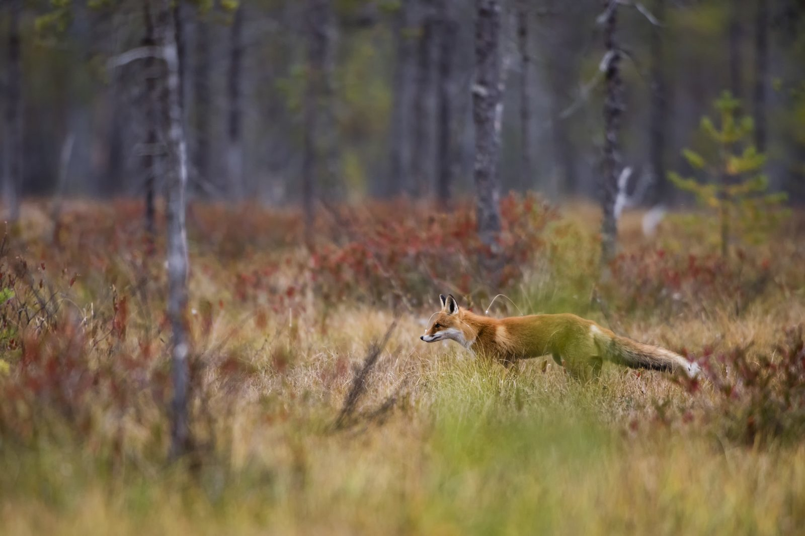 Fox in the Veluwe