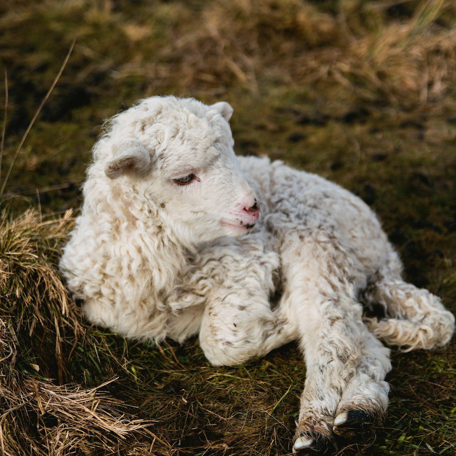 Lammetjesdag | Orvelte