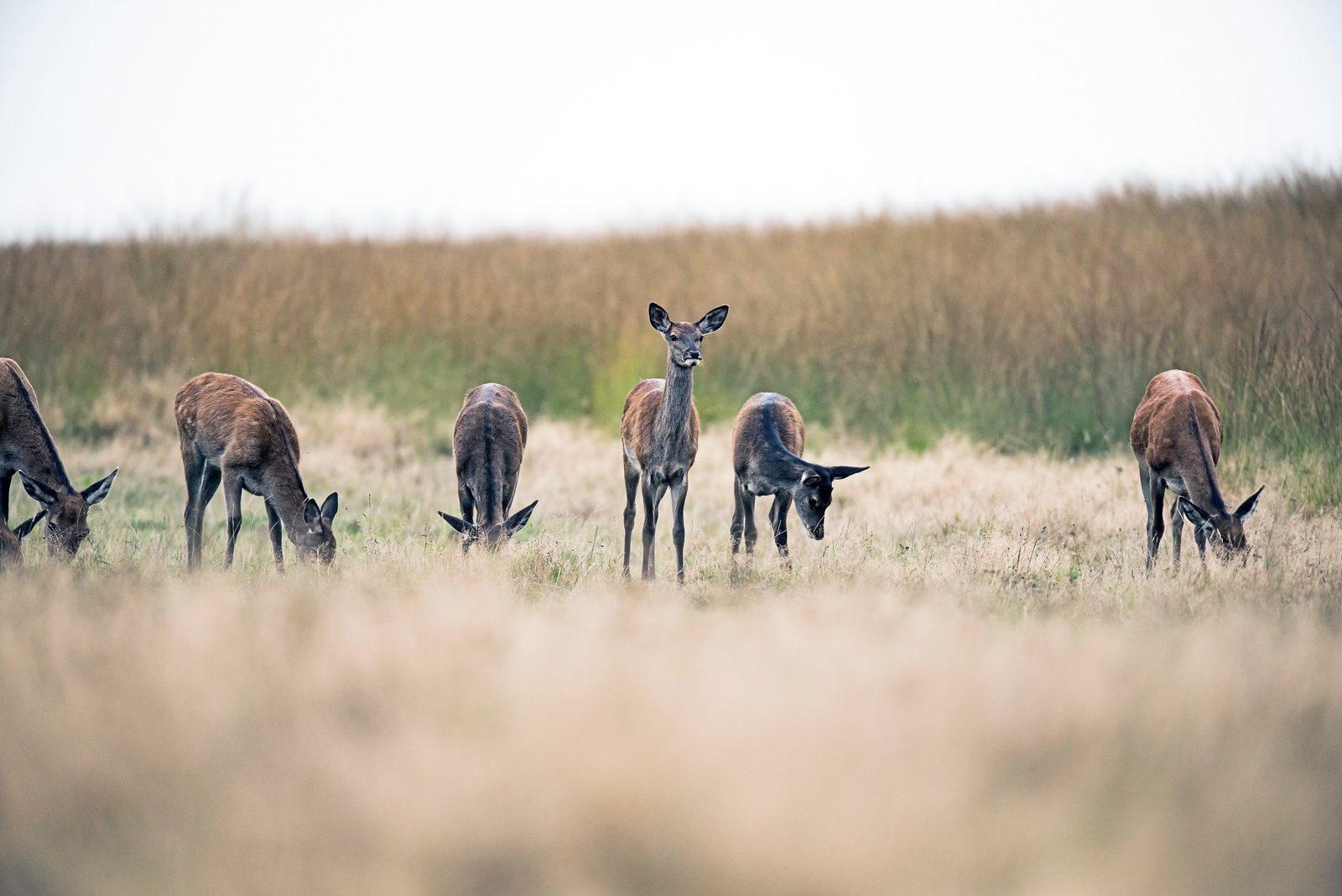 Deer at the Veluwe