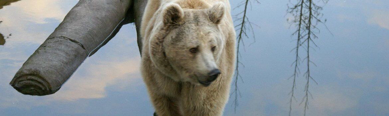 un ours à l'eau