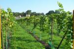 Vineyard De Varsenerhof
