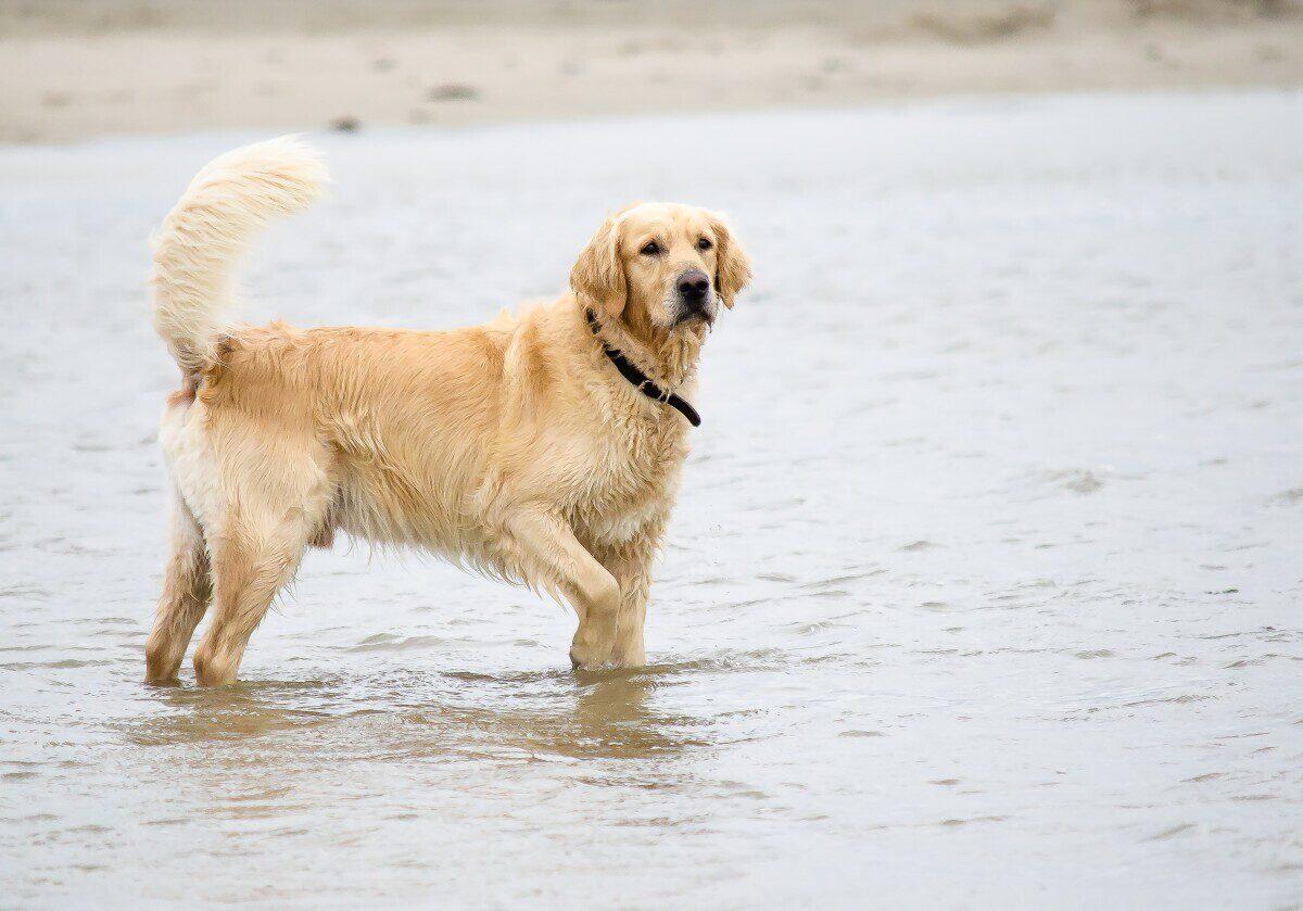 Zoutelande met hond