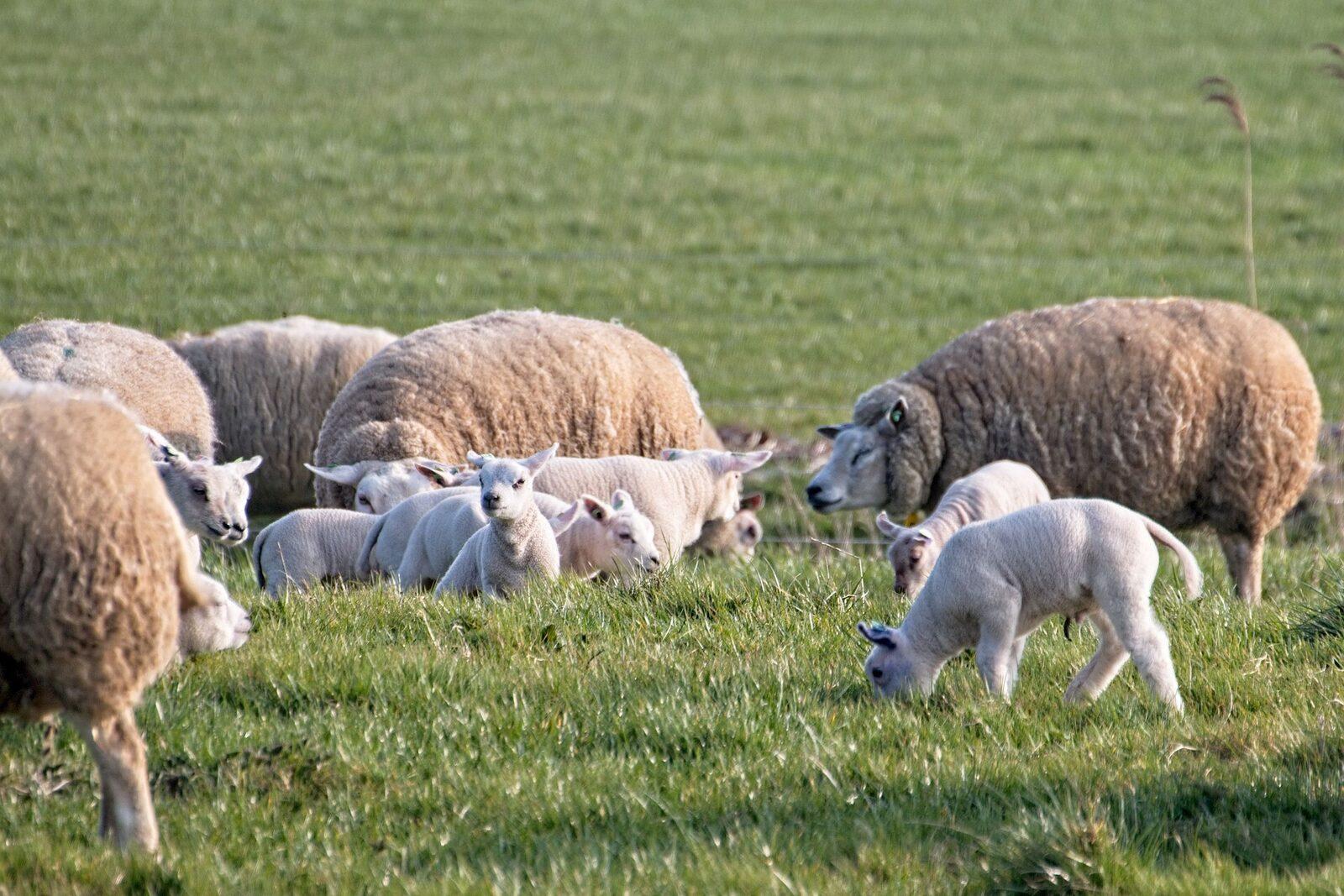 Lammetjesweekend op de Ginkelse Heide in Ede